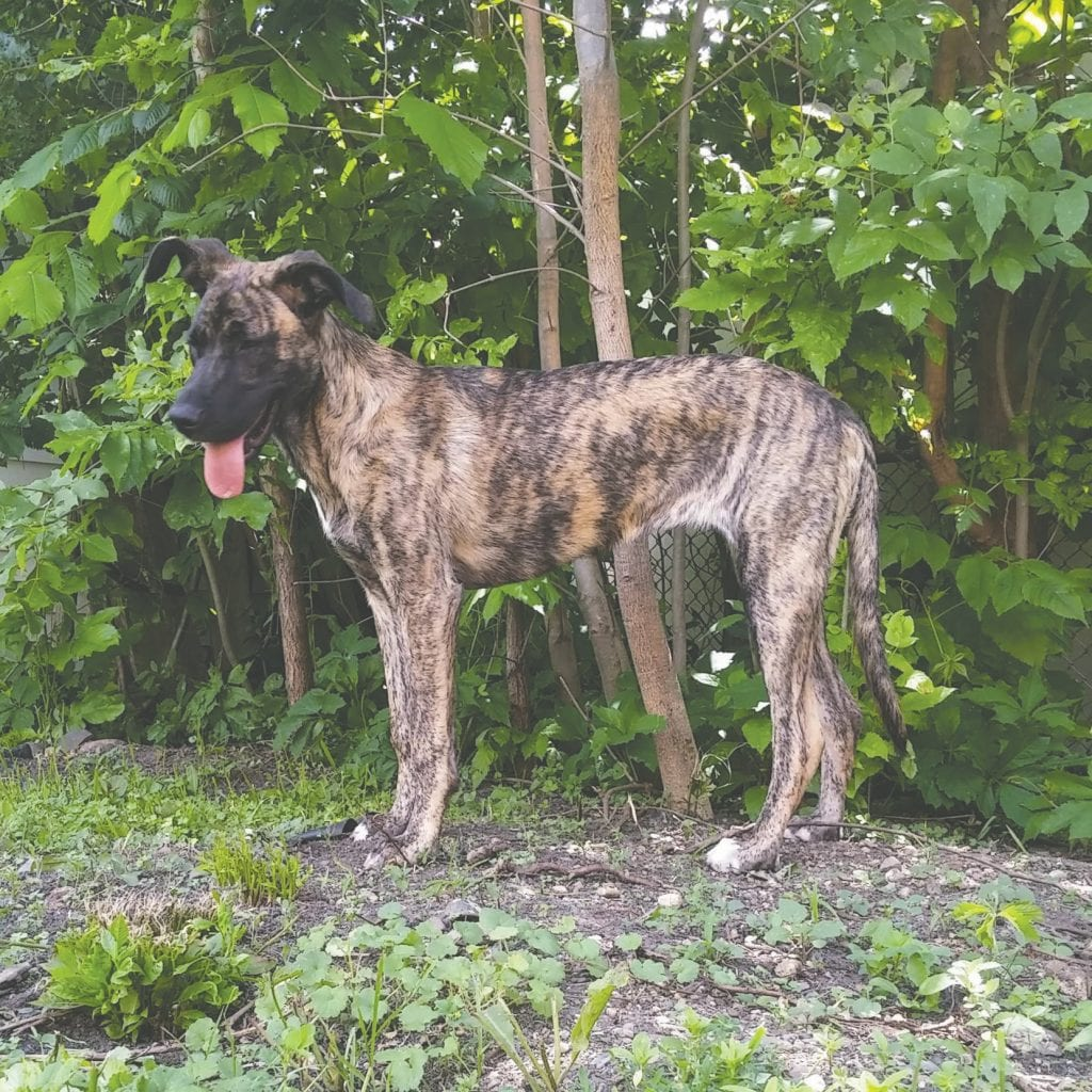 Birdie is a Catahoula leopard/Great Dane mix. Submitted photos.