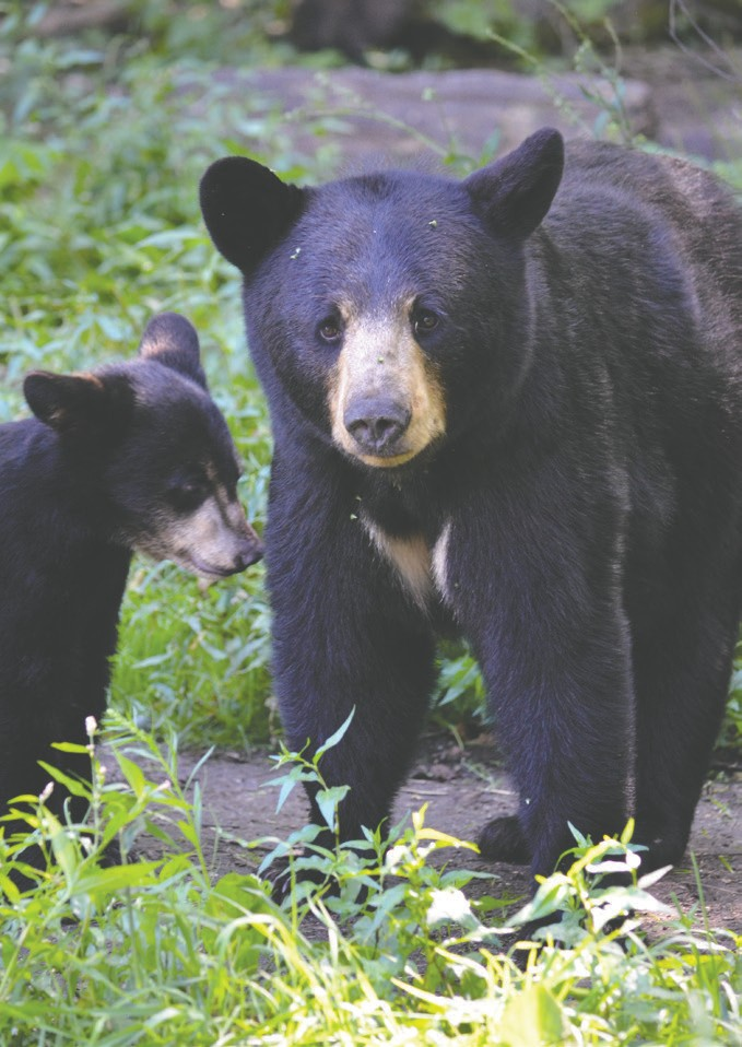 Black bears can be viewed from an elevated viewing deck at the Vince Shute Wildlife Sanctuary in Orr. Submitted photos.