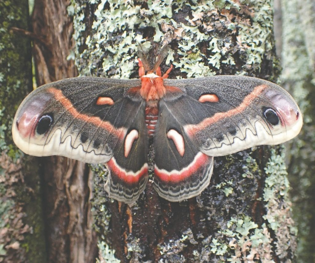 A cecropia moth, the largest moth in North America and a Northwoods resident. Submitted photo.