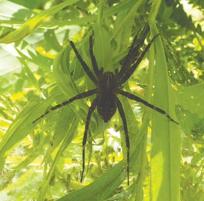 A Northwoods fishing spider Submitted photo.