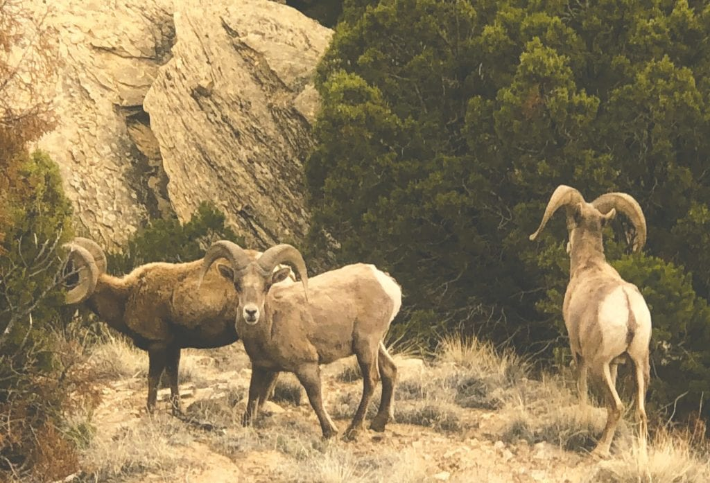 Bighorn sheep are among a variety of animals to live in Colorado National Monument. Submitted photos.