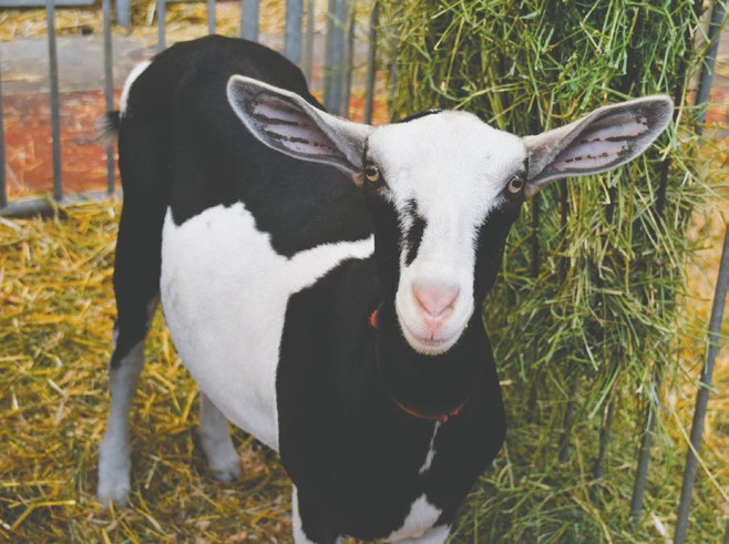 Goats, one of the fastest-growing livestock exhibitions at the State Fair (more than 1,400 goats came to the fair last year), will now have their own education station. Fairgoers can stop by and learn more about the many goat breeds through activities and displays. •
