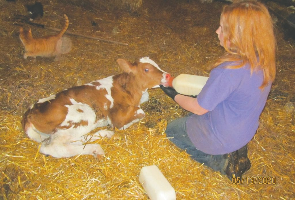 One of Jeff and Lisha Pearson's three daughters feed colostrum to a calf at the Rice River Holsteins farm. The girls started helping at the farm when they were three. Submitted photo.