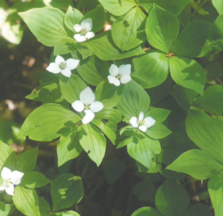 Many wildflowers decorate the winding Kawishiwi Falls Trail, with bunchberries being the most abundant, Betty writes.
