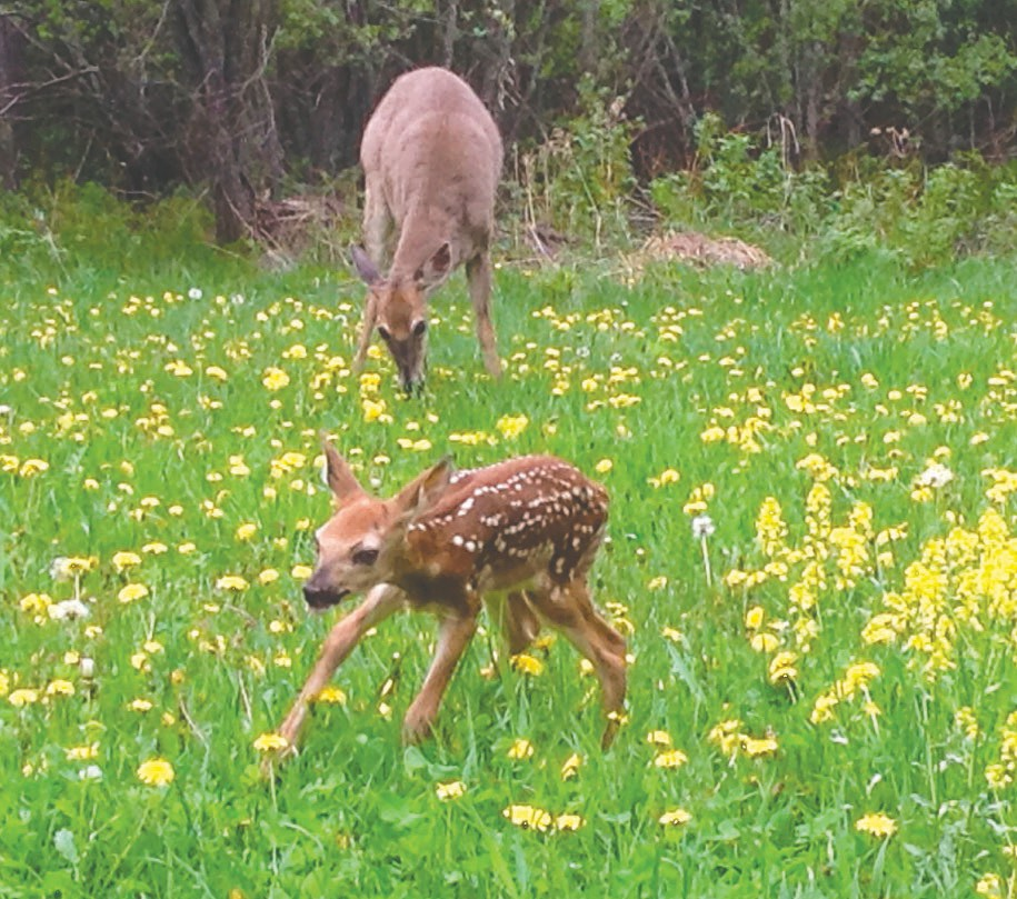 Mother deer is pictured here on May 26, eating grass while her fawn explores the area. Submitted photo.