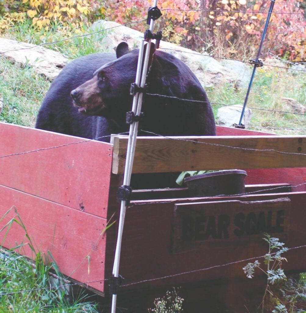 Lured into the weighing box with a big bowl of vegetables, Lucky looks around at his surroundings while he is being weighed. He weighed in at 500 pounds.
