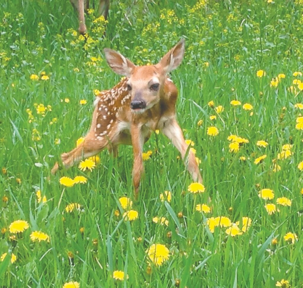 Debbie attentively watched this fawn and its mother at her rural Hibbing home last May. Submitted photo.