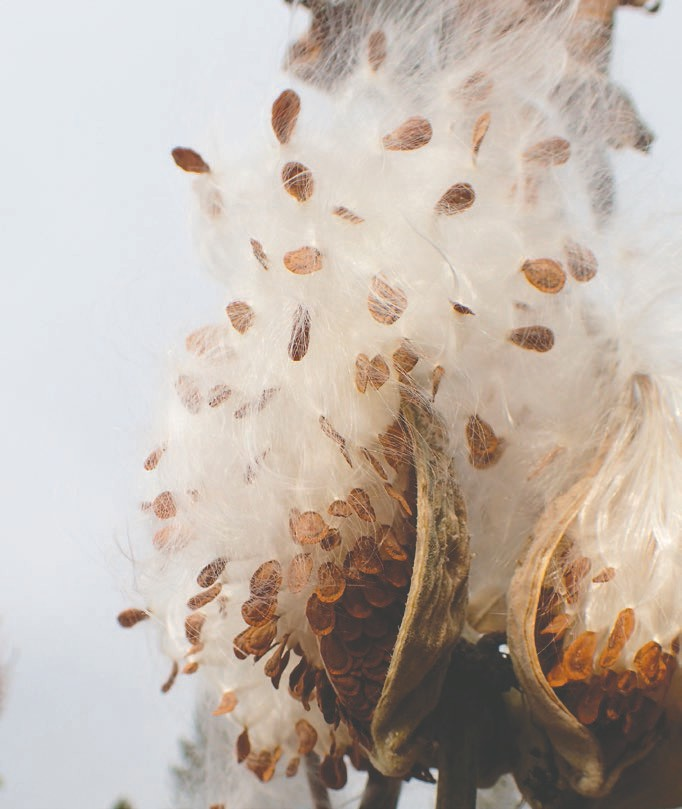 A common milkweed releases seeds to the wind. Submitted photo.