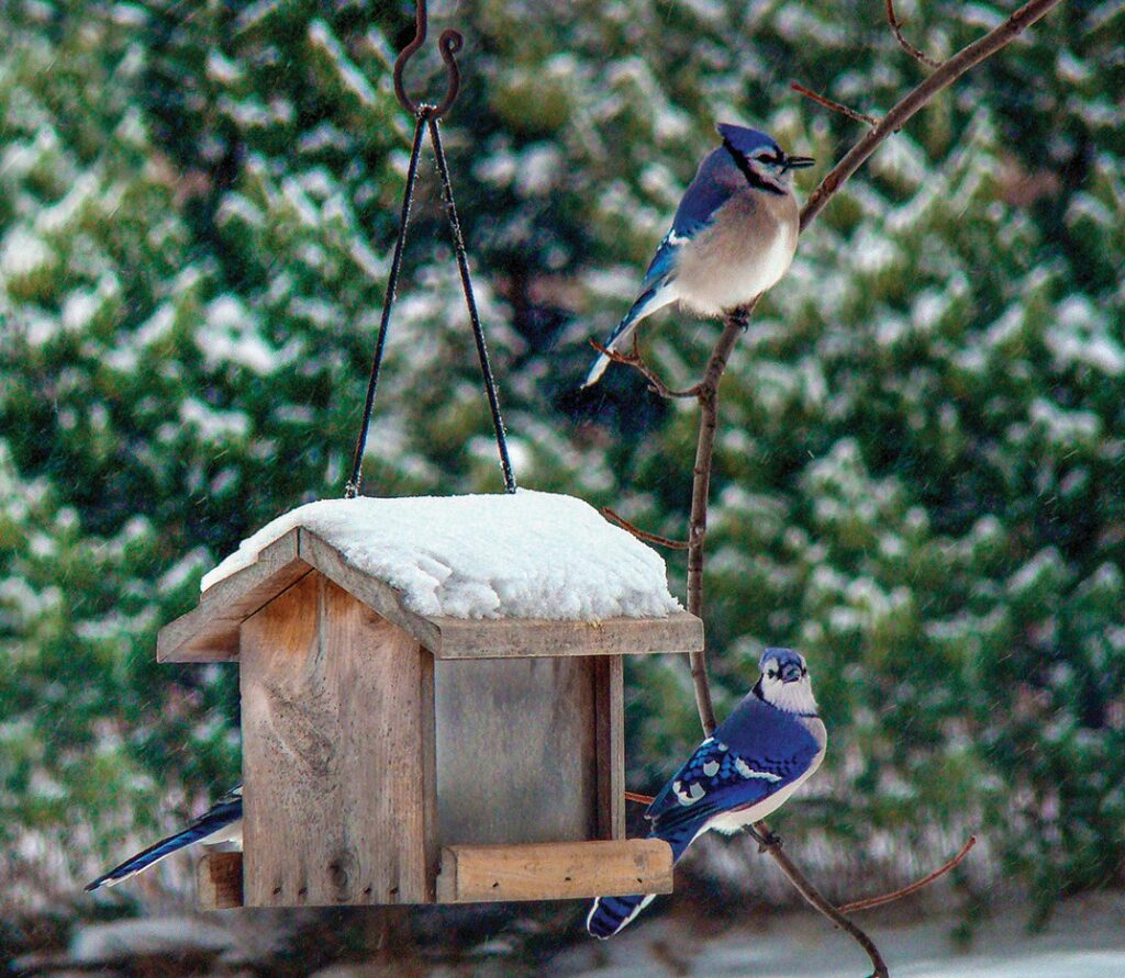 When the weather cools in fall and winter, many birds seek out warmer climates, but a good number of these feathered friends stick around. Certain birds, such as blue jays, can be found all winter long across regions of North America.